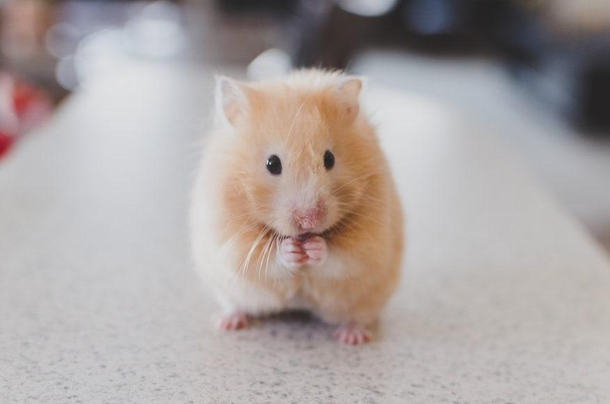 Een hamster staand op zijn achterpootjes