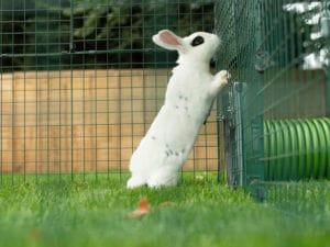 Een wit konijn met zwarte vlekken staand op zijn achterpoten in het gras