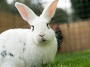 Een zittend wit konijn met zwarte vlekken in het gras