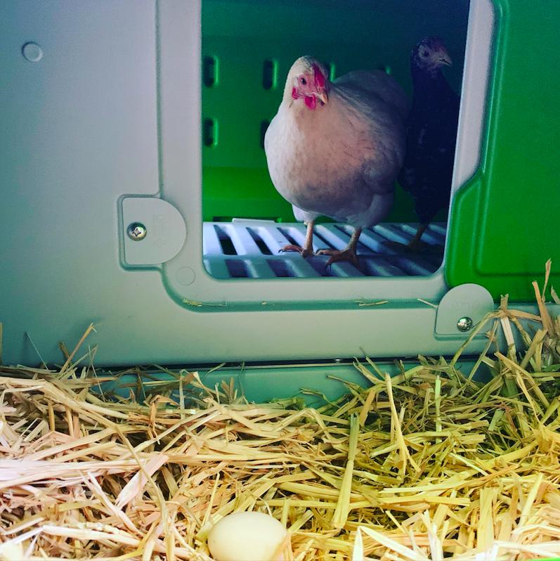 En høne inni en Eglu som ser på reir-området sitt med et egg i.