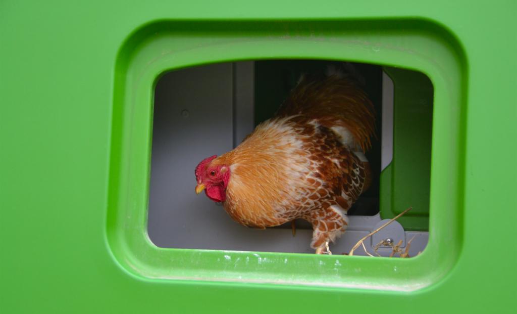 En høne legger seg i reiret i Eglu-hønsehuset sitt.