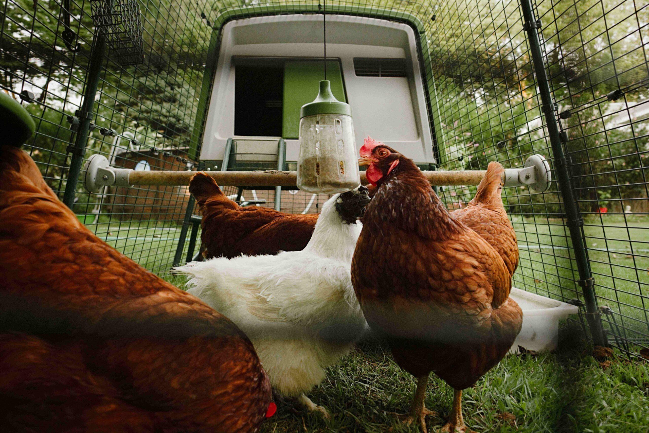 Vier hennen in hun ren met een Omlet Peck Toy
