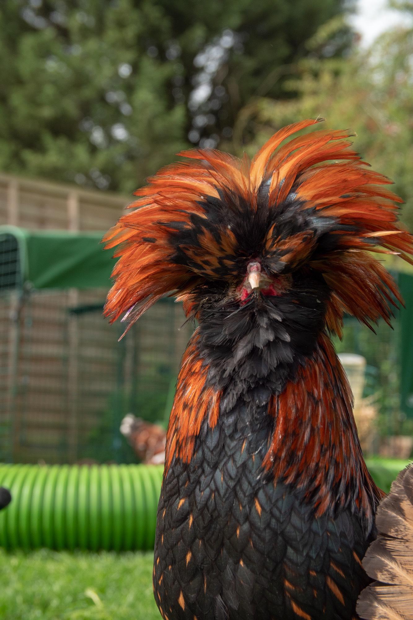 Een zwart-oranje kip met lange veren