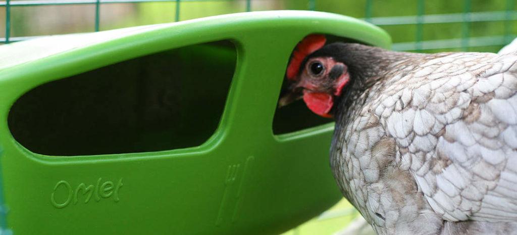 Een kip kijkt in een Omlet voerbak voor kippen