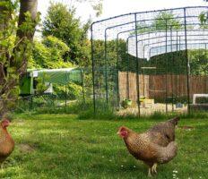 Twee kippen buiten de Omlet Inloopren