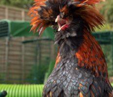 Een zwart-oranje kip met lange veren met de snavel wijd open